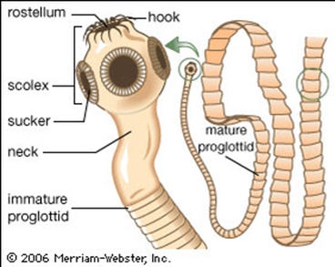 What are tapeworms