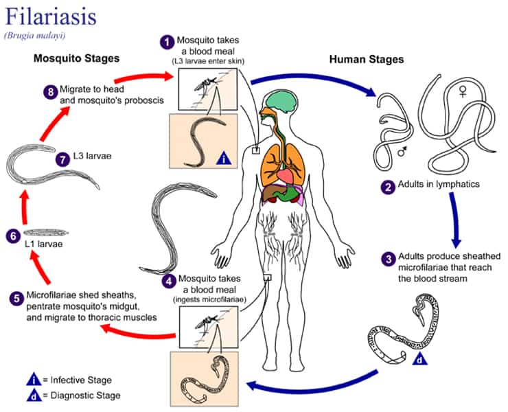 Filariasis Life cycle of Brugia malayi