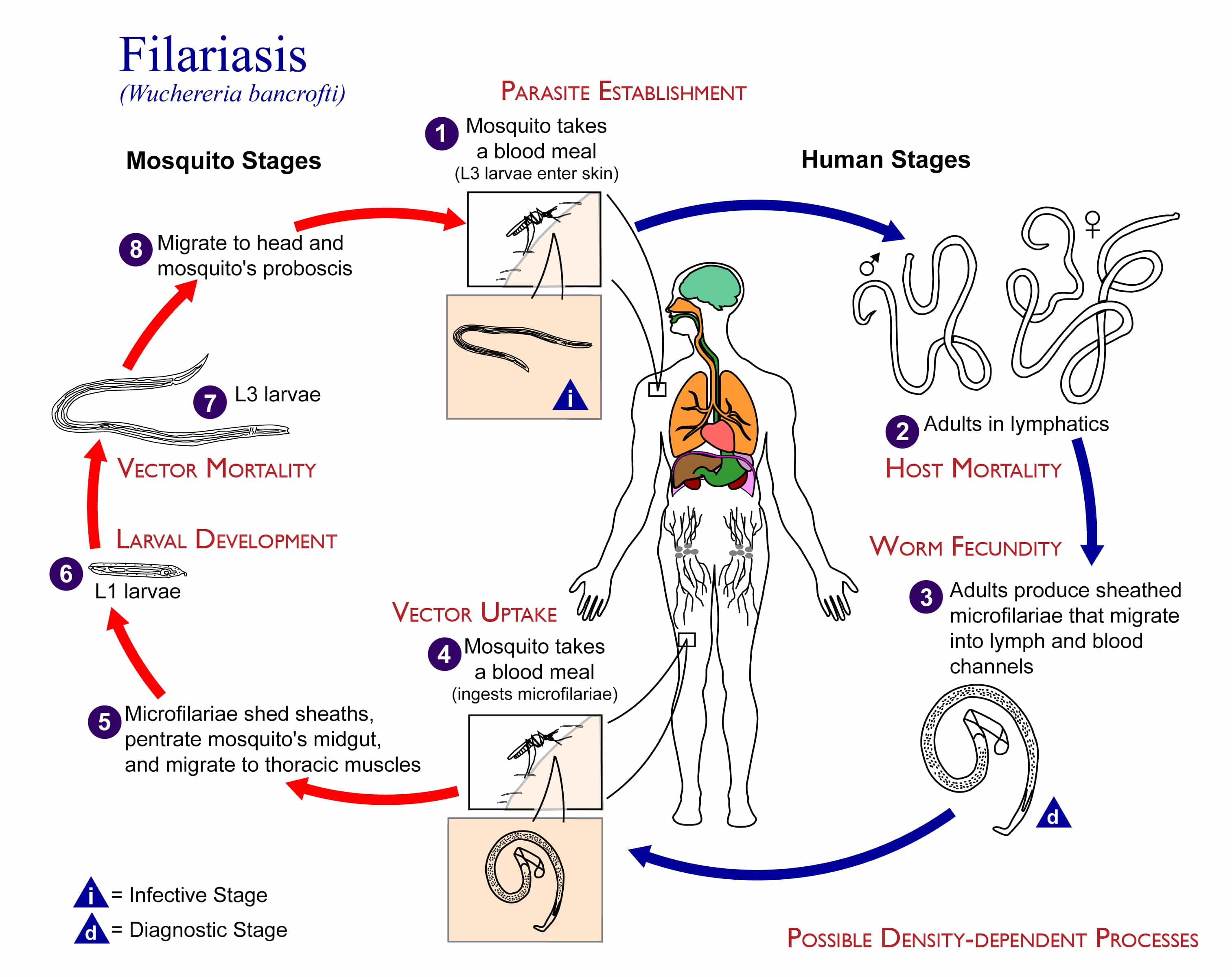 Filariasis Life cycle of Wuchereria bancrofti