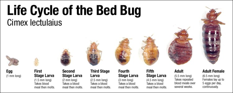 Bed Bug life-cycle